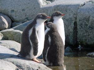 Gentoo_penguin_juvenile_Petermann_Island